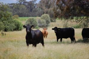 Ag - cattle